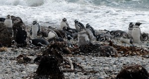pinguine_fwlo